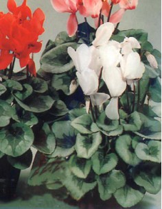 Cyclamen Mixed