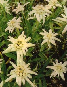 Edelweiss Alpino
