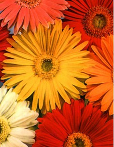 Gerbera Jamesonii Mixed