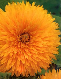 Sunflower Giant California